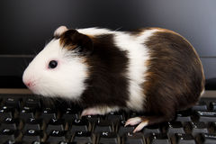 Guinea pig on computer royalty free stock images