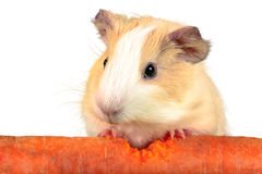 Guinea pig crunch huge carrot Royalty Free Stock Photo