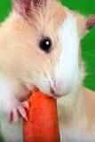Guinea pig crunch huge carrot Stock Photo