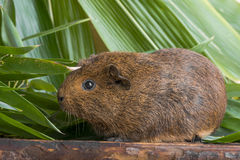 Guinea pig in detail. A cute guinea pig in detail royalty free stock photos