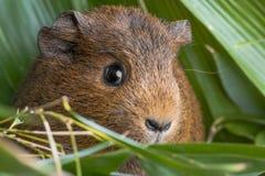 Guinea pig in detail. A cute guinea pig in detail stock photos