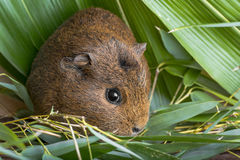 Guinea pig in detail. A cute guinea pig in detail stock photography