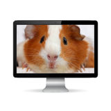 Guinea pig on display screen Stock Photo