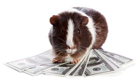 Guinea pig and dollars Stock Photography