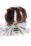 Guinea pig and dollars Royalty Free Stock Photos