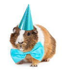 Guinea Pig Dressed For Birthday Party. Cute little pet guinea pig wearing a blue bow tie and party hat royalty free stock photography
