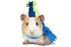 Guinea pig dressed in a winter hat and scarf Royalty Free Stock Photo