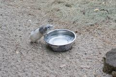 Guinea pig drinks water Royalty Free Stock Image