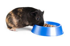 Guinea pig eating. On the white background Stock Photography