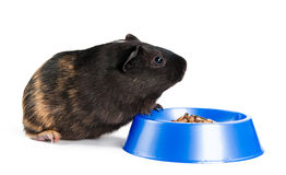 Guinea pig eating. On the white background Stock Photos