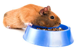 Guinea pig eating Stock Image