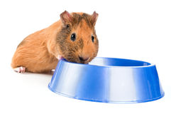 Guinea pig eating Stock Photo