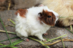 Guinea pig eating Royalty Free Stock Images