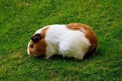 Guinea pig eating animal mammal nice pet Royalty Free Stock Images