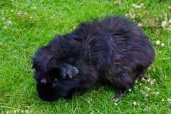 Guinea pig eating animal mammal nice pet Stock Image