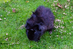 Guinea pig eating animal mammal nice pet Royalty Free Stock Photo