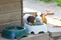 Guinea pig eating animal mammal nice pet Royalty Free Stock Image