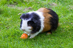 Guinea pig eating animal mammal. Guinea pig pet fauna outdoor Royalty Free Stock Images