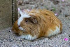 Guinea pig eating animal mammal Royalty Free Stock Photo