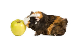 Guinea pig eating an apple Stock Photography