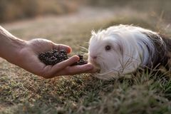 Guinea pig eating blackberries royalty free stock photography