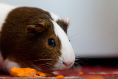 Guinea pig eating. A brown and white guinea pig eating Stock Photos