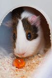 Guinea pig eating in a cage stock photos
