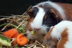 Guinea pig eating carrot and lettuce. Guinea pig on hay/ straw/ bedding eating carrot and lettuce royalty free stock photography