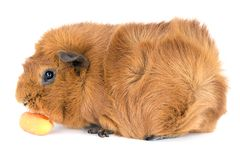 Guinea pig eating a carrot;  on white Royalty Free Stock Photography