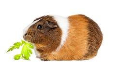 Guinea Pig Eating Celery Stock Photos
