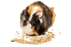Guinea pig eating grain Royalty Free Stock Images