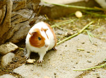 Guinea. Pig eating the grass on the floor Royalty Free Stock Photography