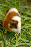 Guinea. Pig eating the grass on the floor Stock Image