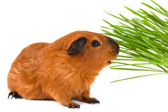 Guinea pig eating green grass on white background Royalty Free Stock Image