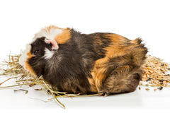 Guinea pig eating hay Royalty Free Stock Image