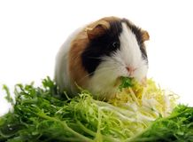 Guinea pig eating lettuce Royalty Free Stock Photos