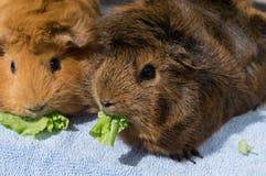 Guinea pig eating lettuce Royalty Free Stock Image