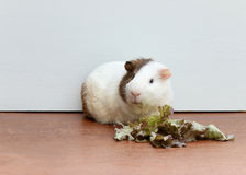 Guinea pig eating the lettuce and sitting on the desk. Guinea pig eating the lettuce and sitting on the desk, A popular household pet royalty free stock image
