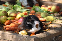 Guinea pig. The guinea pig eating some vegetable royalty free stock photo