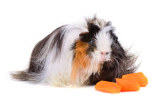 Guinea pig eating vegetables Royalty Free Stock Images