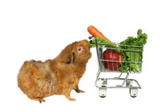 Guinea pig eating veggies Royalty Free Stock Photos