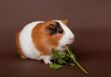 Guinea-pig is eating verdure. On the brown background Stock Images