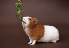 Guinea-pig is eating verdure stock images