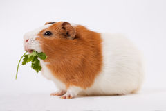 Guinea-pig is eating verdure. On the light background Royalty Free Stock Photography