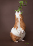 Guinea-pig is eating verdure standing on back foots. Guinea-pig is eating verdure stand on back foots on the brown background Stock Photos