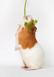 Guinea-pig is eating verdure standing on back foots. Guinea-pig is eating verdure stand on back foots on the light background Stock Photo