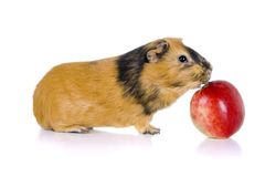 Guinea pig eats an apple Stock Images