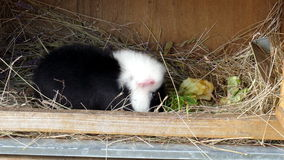 Guinea pig. Eats food in the barn stock video footage