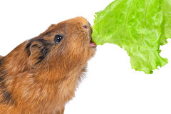 The guinea pig eats a lettuce leaf Royalty Free Stock Image