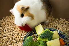Free Guinea Pig Eats Red Lettuce. Cage For Guinea Pig Royalty Free Stock Images - 183174949
